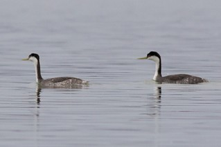 Western Grebe and ? Grebe - New York | by bonxie88
