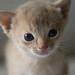 Fawn Kitten 1