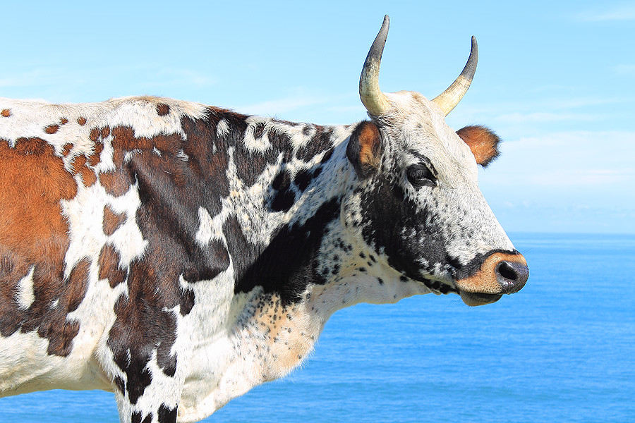 Nguni cow on the Wild Coast | garethphoto | Flickr