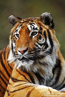 Bengal Tiger | by http://andrewskelton.net