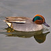 Swimming Eurasian Teal