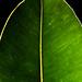 Ficus Elastica Leaf