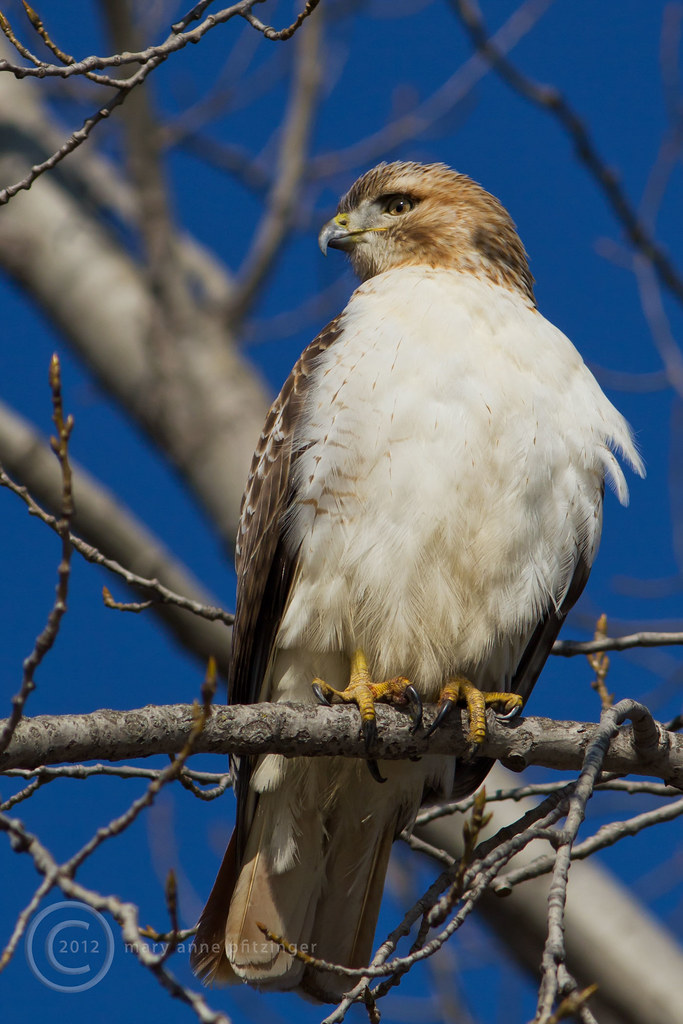 Red Tailed Hawk Perched MAP9166 Red-tai...