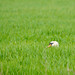 """Hidden"" (Mute Swan)"