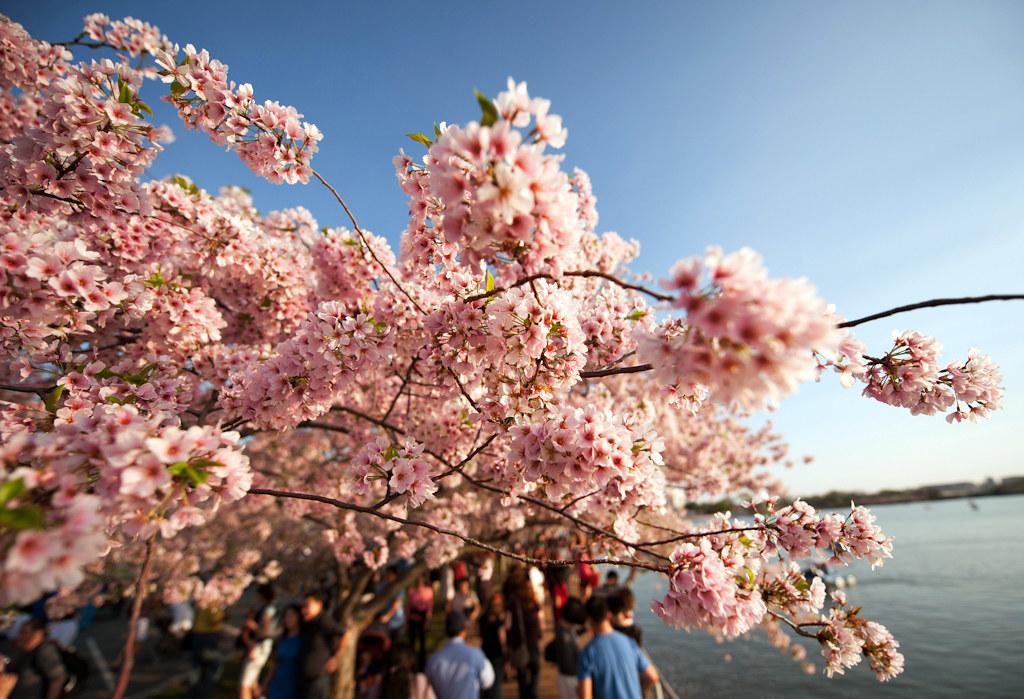 cherry blossom festival - 1024×699