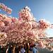 Cherry Blossom Festival, Washington D.C.