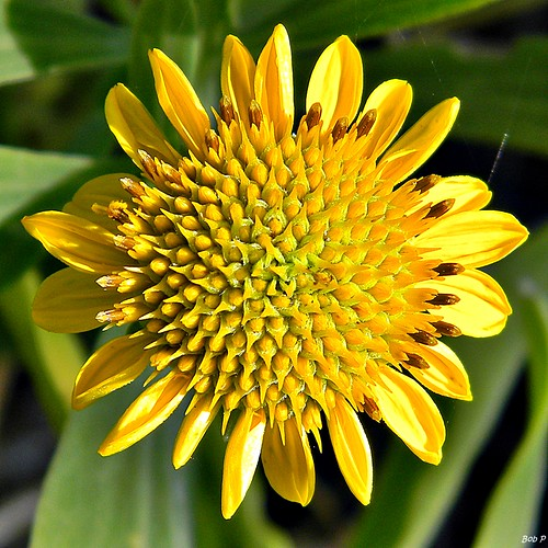Borrichia frutescens (Bushy seaside oxeye) | by bob in swamp