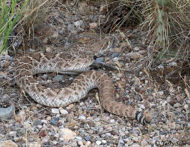 World Record Western Diamondback Rattlesnake