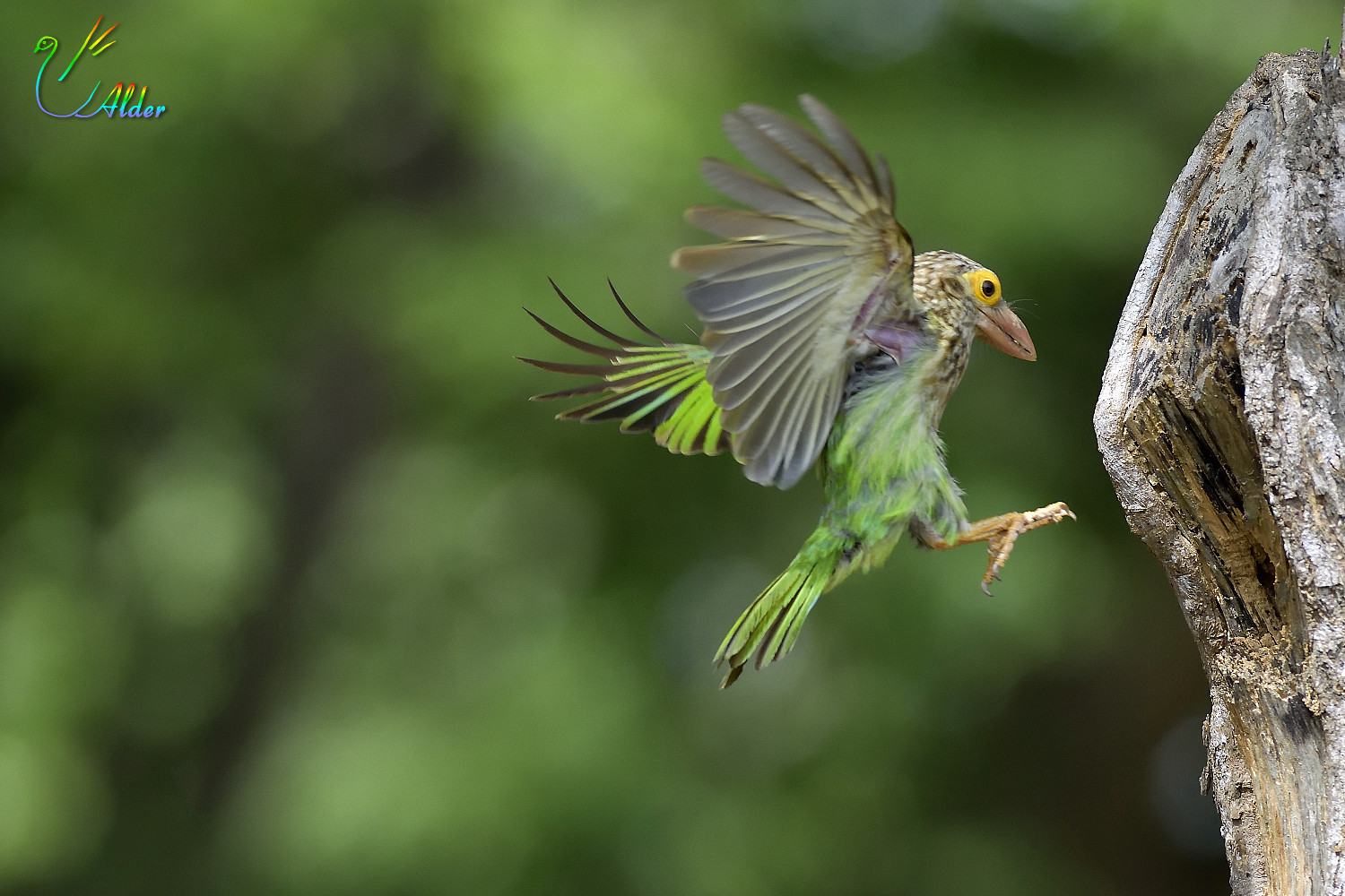 Lineated_Barbet_6550