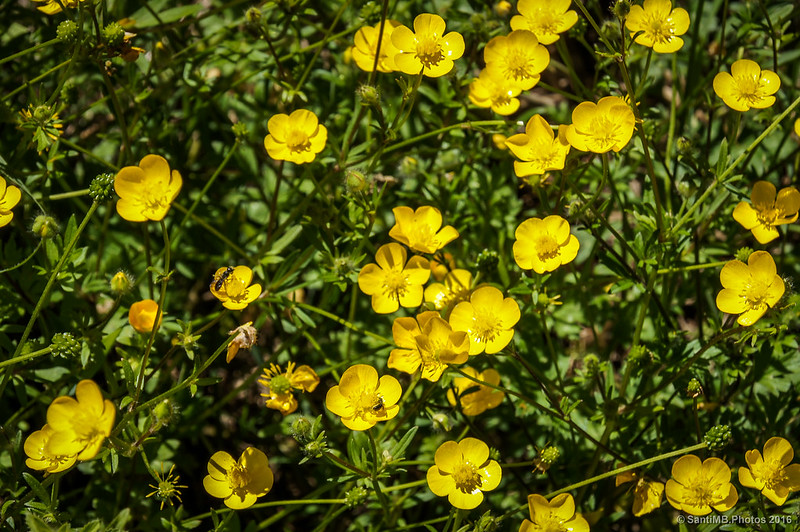 Flores de botón de oro