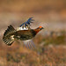Red Grouse, male in display flight