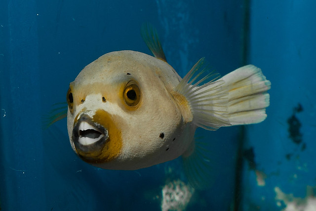Dogface puffer flickr photo sharing for Dog face puffer fish