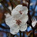 Early flowering 'cherry' blossom