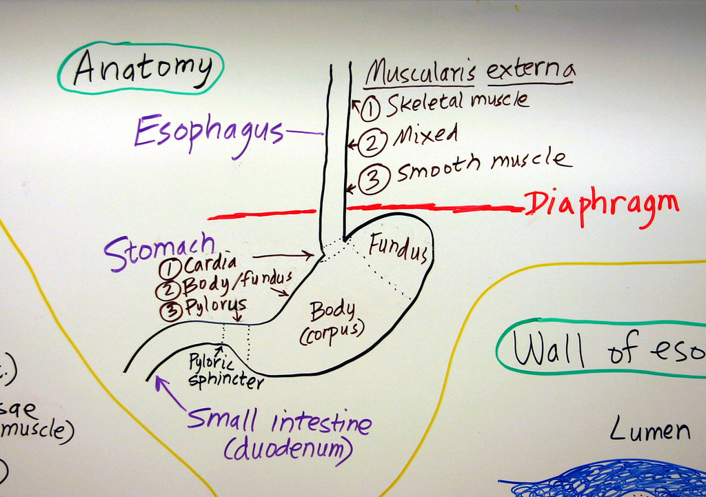 esophagus  u0026 stomach  anatomy