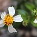 Flores do campo / Field flowers