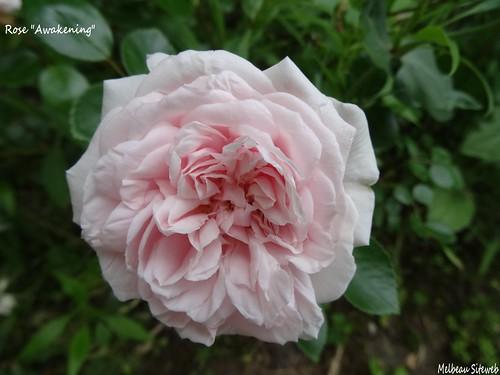 De roses en roses