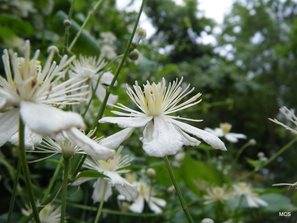 clematis fargesioides summer snow attend flickr. Black Bedroom Furniture Sets. Home Design Ideas