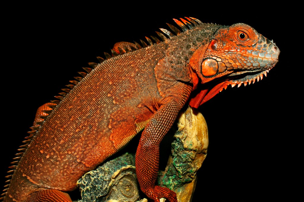 Red Iguana | This Red Iguana is the store's pet at Pets N ...