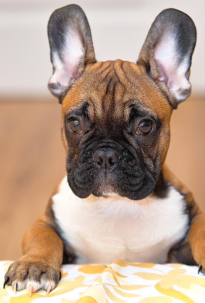 French Bull Dog Puppy Rescue