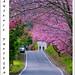 櫻木花道(Sakura road)