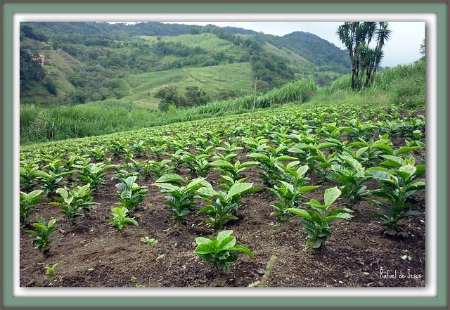 Vivero de cafe para renovar por plantas viejas flickr for Vivero de cafe pdf