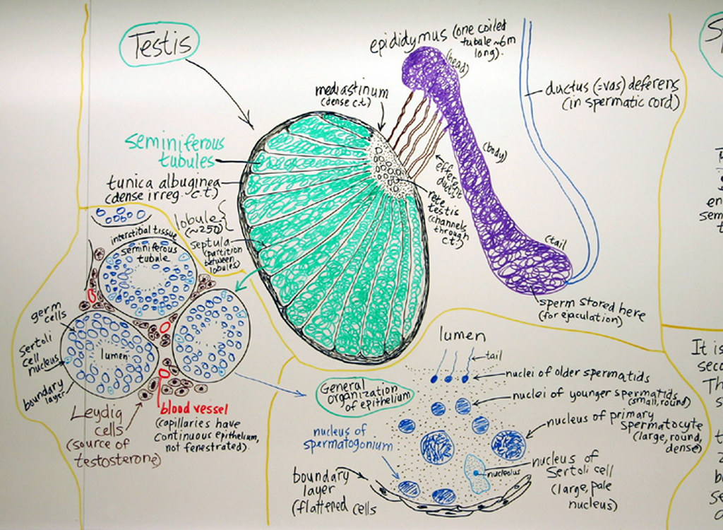 Male Reproductive System Testis A Hand Drawn Sketch By