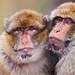 Two macaques warming each other