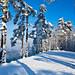Pines, snow & sun