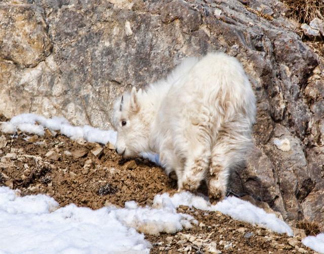 baby Mountain GoatBaby Mountain Goat