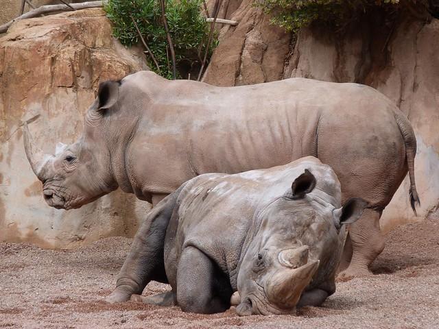 Rinocerontes africanos en Bioparc