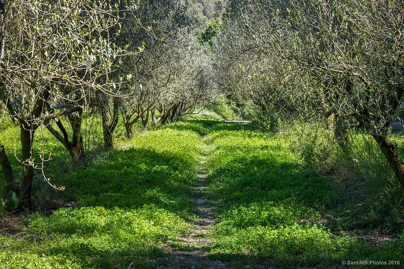 Hileras de olivos