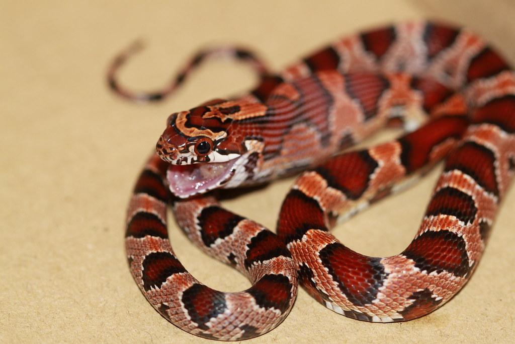 Ultramel Corn Snake Okeetee Corn Snake