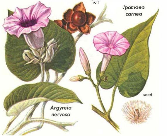 Morning Glories - Ipomoea Carnea & Argyeria - Hallucinogen… | Flickr