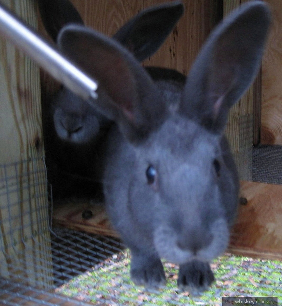 curious bunnies | American Blue Rabbits | Dre Horton | Flickr