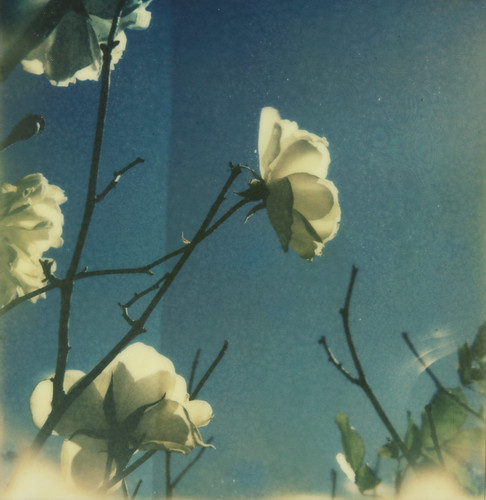 White roses on blue | by Kat White