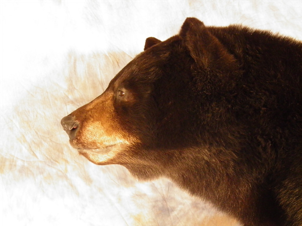 Black bear head profile - photo#6