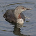Red-throated Diver ,  Red-throated Loon,     Gavia stellata