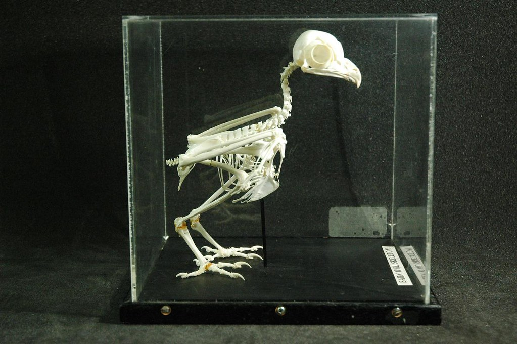 1227 Barn Owl Skeleton | Access Artefacts | Flickr
