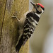 male Lesser Spotted Woodpecker (Dendrocopus minor)