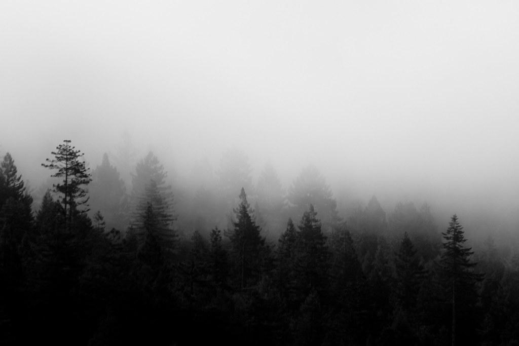 foggy trees  humbolt county