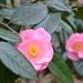 Camellia 'Bernice Boddy'
