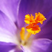 Crocus with golden Heart