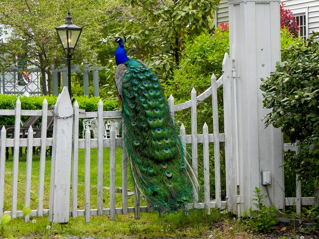 peacock on gate to backyard of his home the seguine burke u2026 flickr