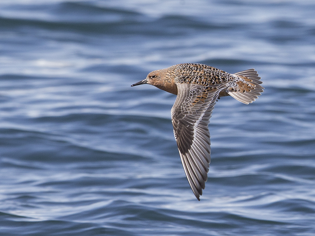 Red Knot     Iceland