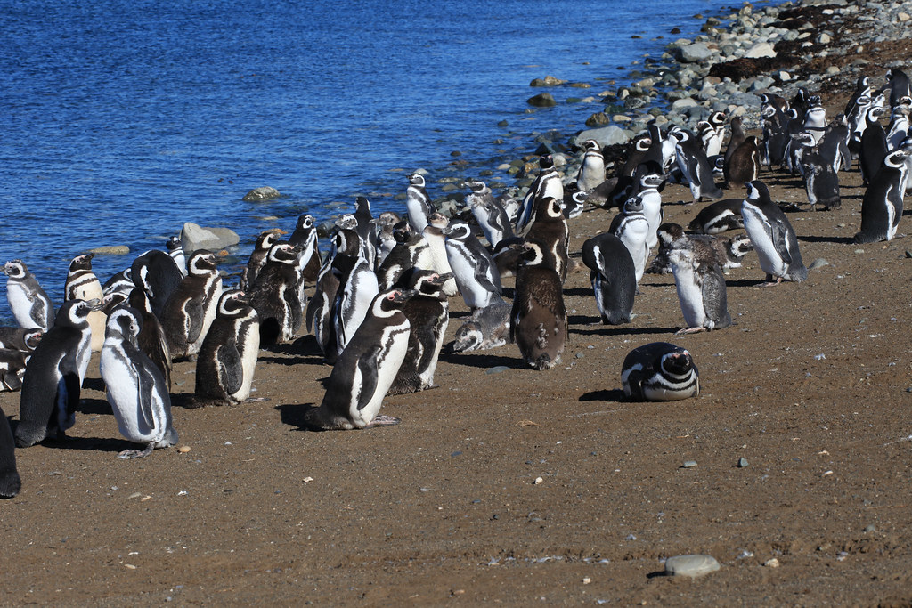 pinguinos que hacer en Chile