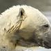 ijsbeer Vicks