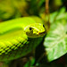 Another green snake