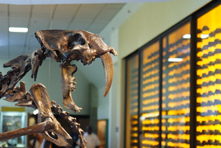 Smilodon at the Page Museum at the La Brea Tar Pits | by Dallas Krentzel