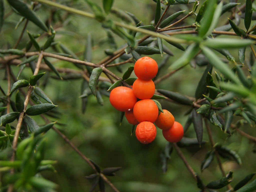 Chain Fruit (Prickly A...