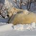 Polar Bears 11